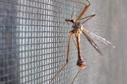 szúnyogháló szúnyoggal